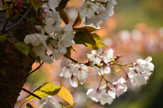 野洲川上流 桜
